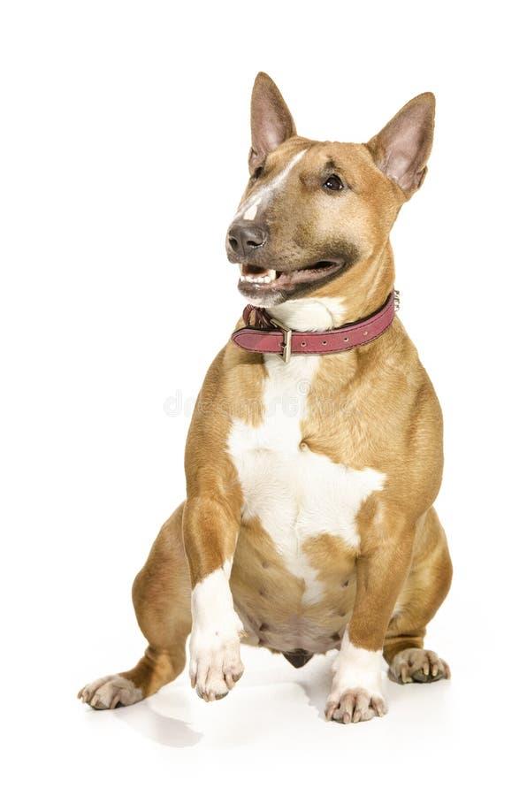 Bruin mooi vrouwelijk miniatuurBull terrier. stock afbeelding