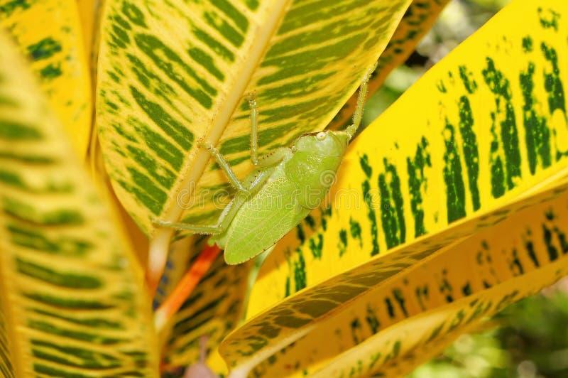 Bruin-onder ogen gezien spear hastata van drager katydid Copiphora stock foto's