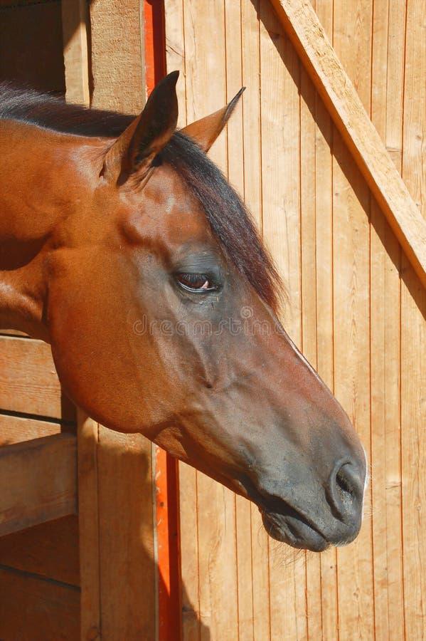 Bruin paard stock afbeelding