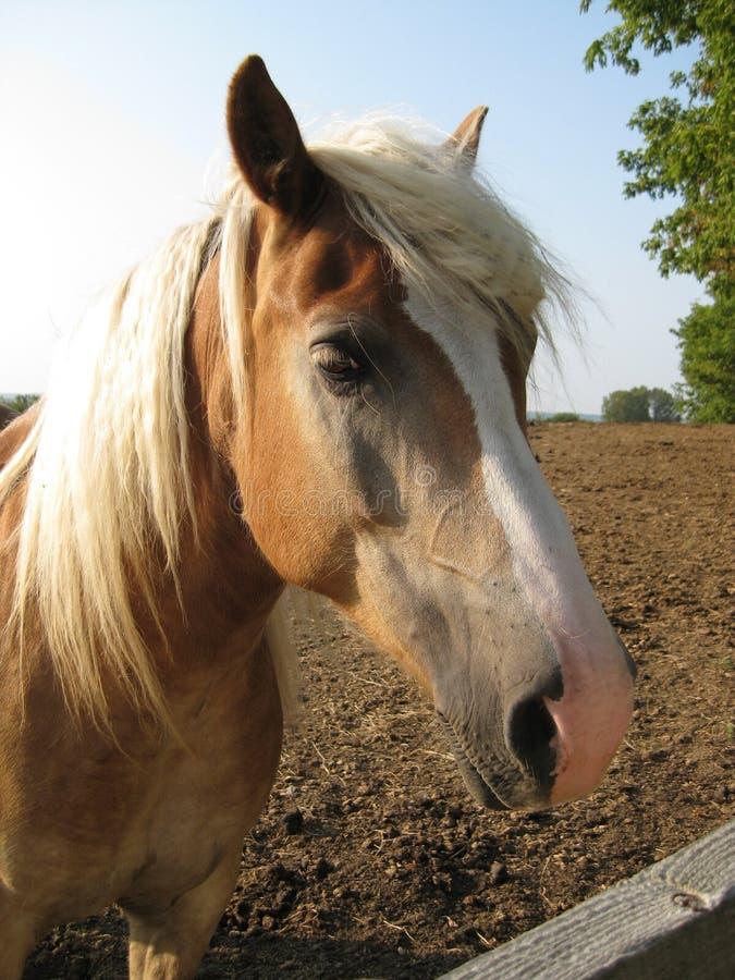 Bruin Paard royalty-vrije stock fotografie