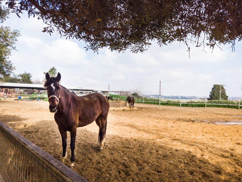 Bruin Paard bij het landbouwbedrijf stock afbeelding