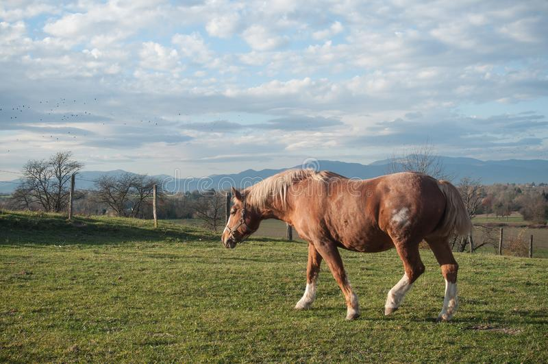 Bruin paard die in een weide lopen stock afbeeldingen
