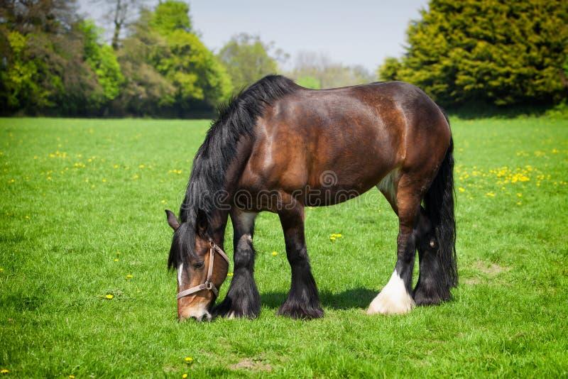 Bruin paard die gras op het gebied eten royalty-vrije stock foto's