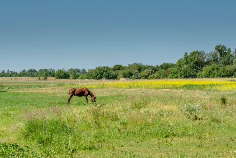 Bruin paard die gras op het gebied eten tijdens zonnige de zomerdag dichtbij dorp stock afbeelding