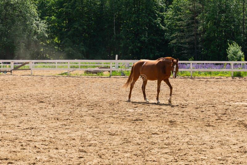Bruin paard die op een geschermd gebied op een achtergrond van groene bomen lopen stock afbeeldingen