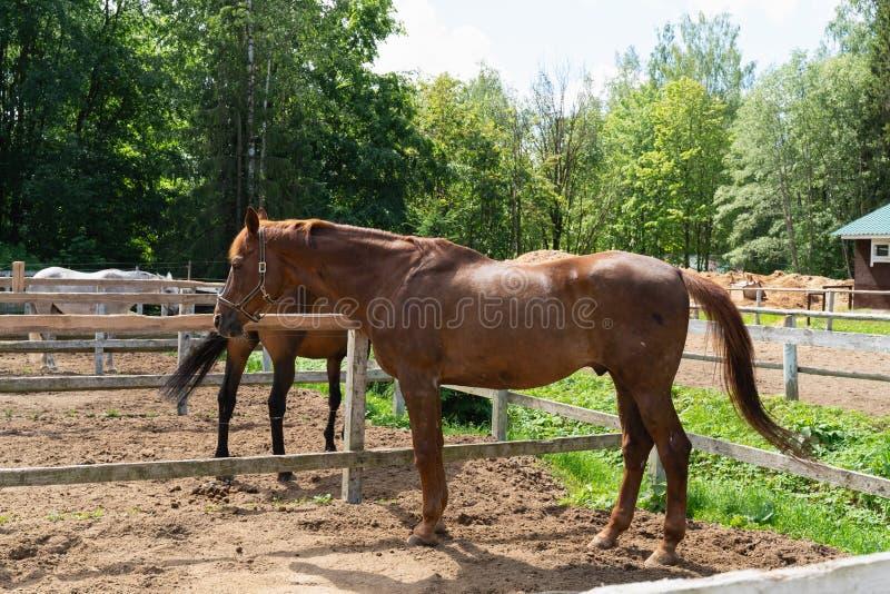 Bruin paard die op een geschermd gebied op een achtergrond van groene bomen lopen royalty-vrije stock fotografie