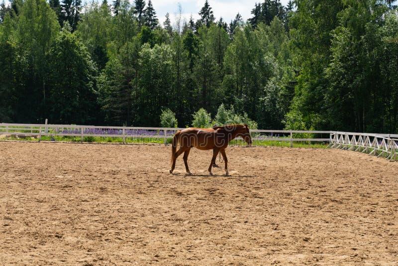 Bruin paard die op een geschermd gebied op een achtergrond van groene bomen lopen royalty-vrije stock foto's