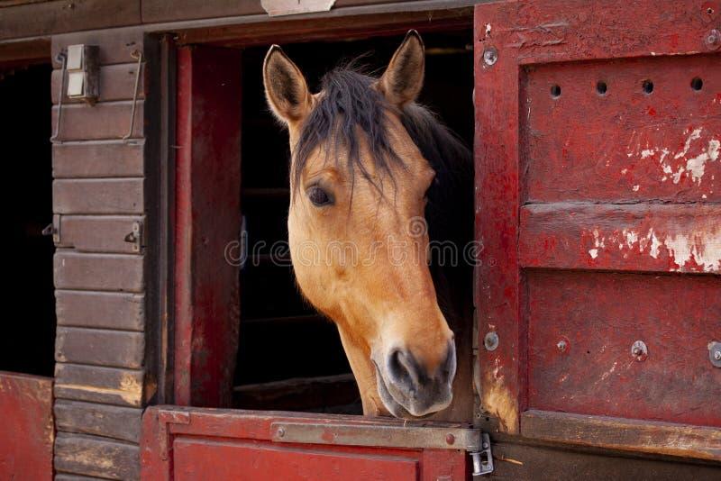 Bruin paard die zich in de stal met hoofd bevinden die uit de deur kijken stock afbeeldingen