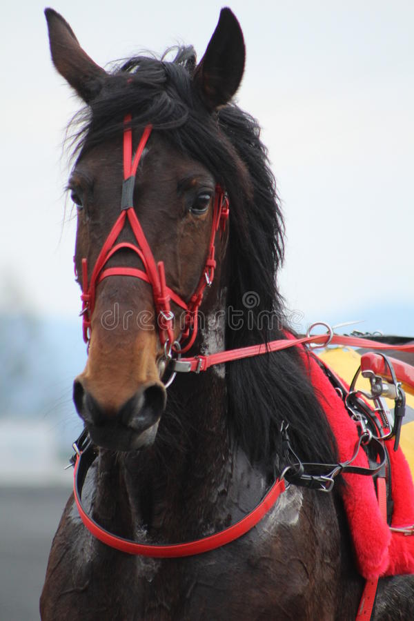 Bruin paard in het het rennen spoor die de camera onderzoeken stock afbeelding