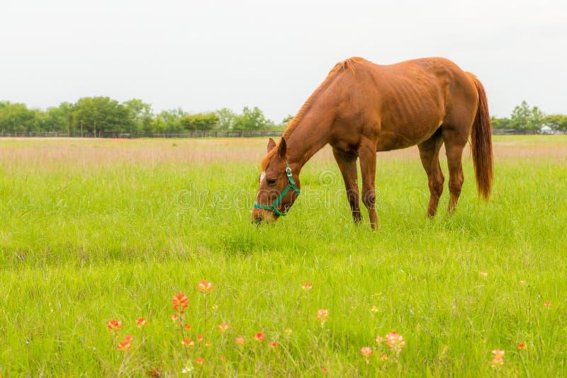 Bruin paard in landbouwgrond stock foto