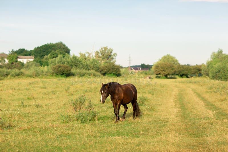 Bruin paard met witte streep op snuitgangen in weiland in de zomer stock foto