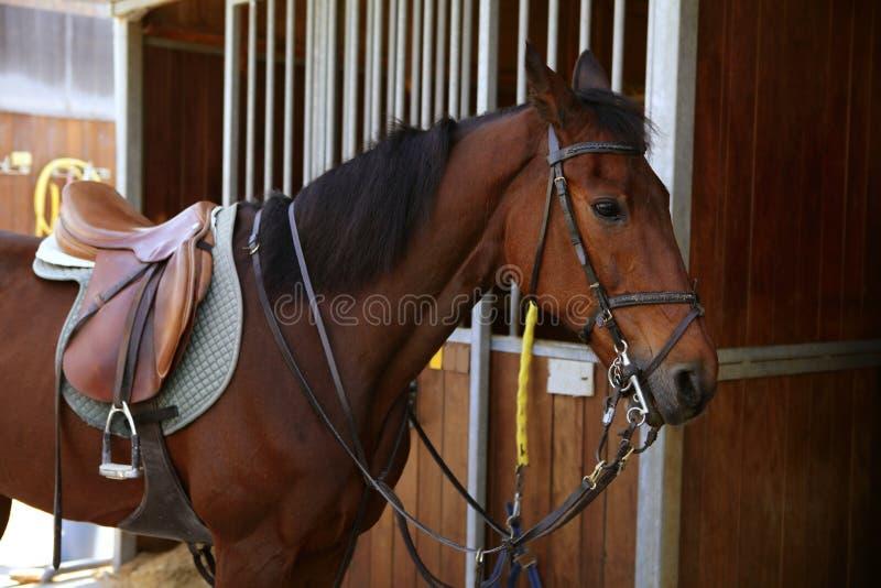 Bruin paard met zadel en teugels royalty-vrije stock foto's