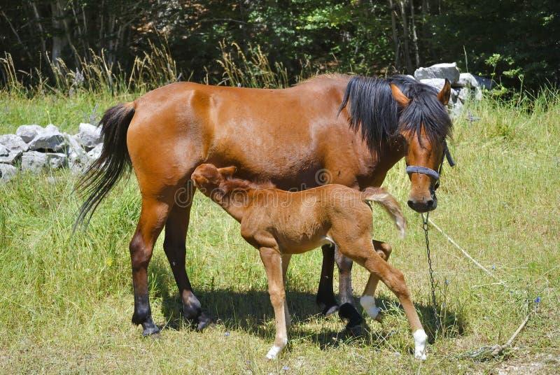 Bruin paard met zijn het eten veulen royalty-vrije stock afbeelding