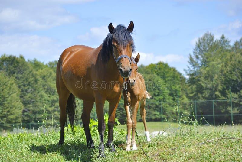 Bruin paard met zijn veulen stock afbeeldingen