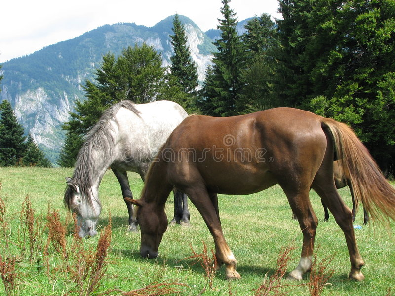 Bruin paard, wit paard stock fotografie
