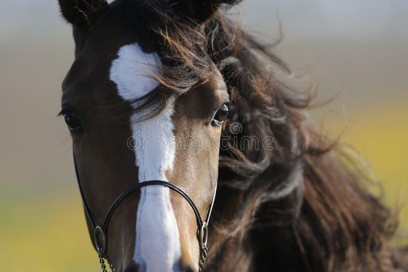 Bruin paardhoofd royalty-vrije stock foto