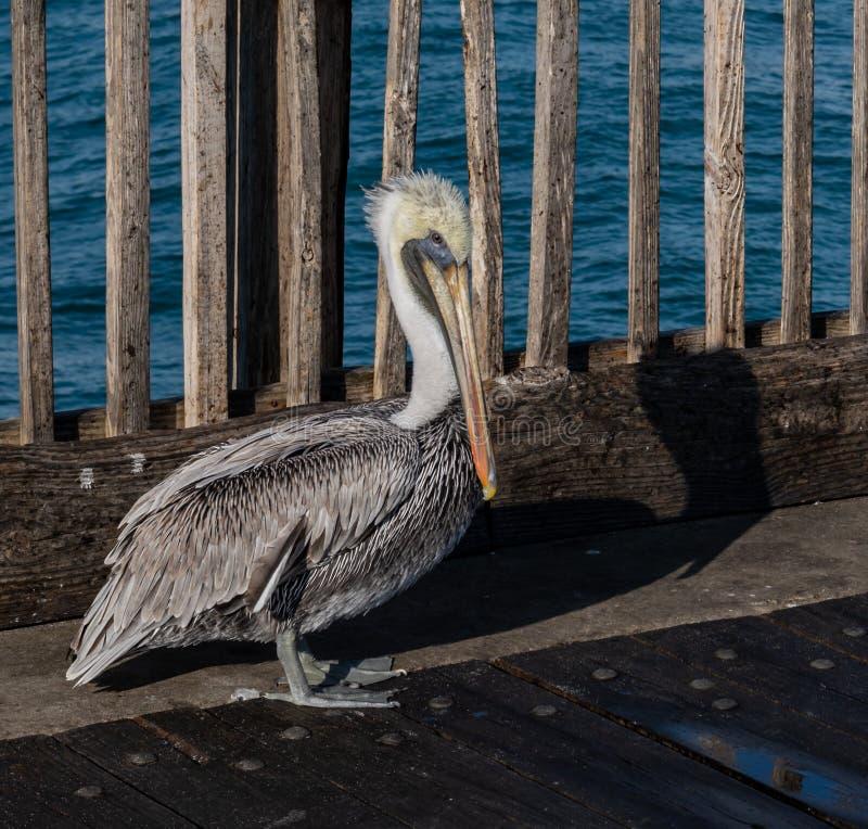 Bruin Pelican over de Pensacola Beach pier royalty-vrije stock fotografie
