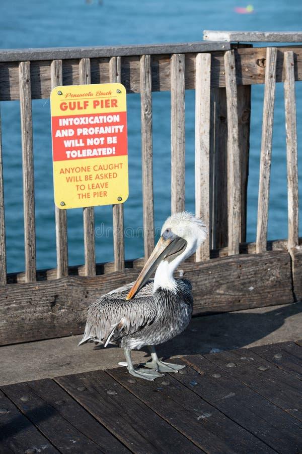 Bruin Pelican over de Pensacola Beach pier stock afbeeldingen