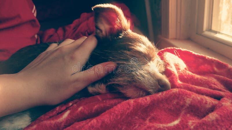Bruin puppy die comfortabel liggen royalty-vrije stock afbeelding