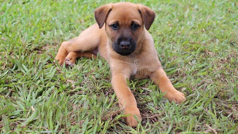 Bruin puppy die in het gras liggen royalty-vrije stock afbeelding