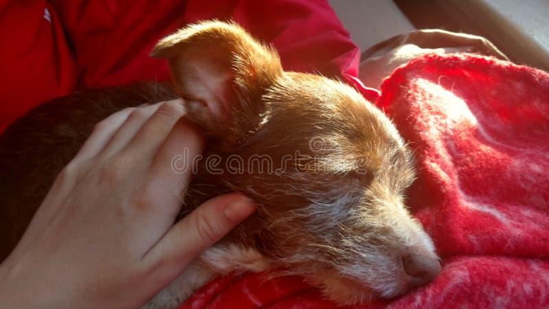 Bruin puppy die huisdier zijn stock afbeelding