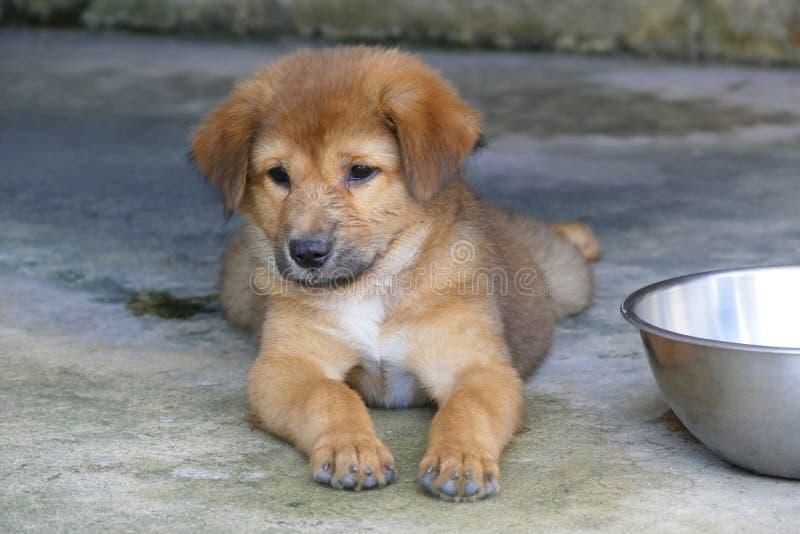 Bruin Puppy die op de grond naast Waterkom liggen royalty-vrije stock fotografie