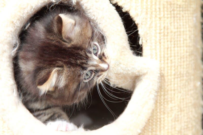 Bruin puppy van Siberische kat bij één maand royalty-vrije stock afbeelding
