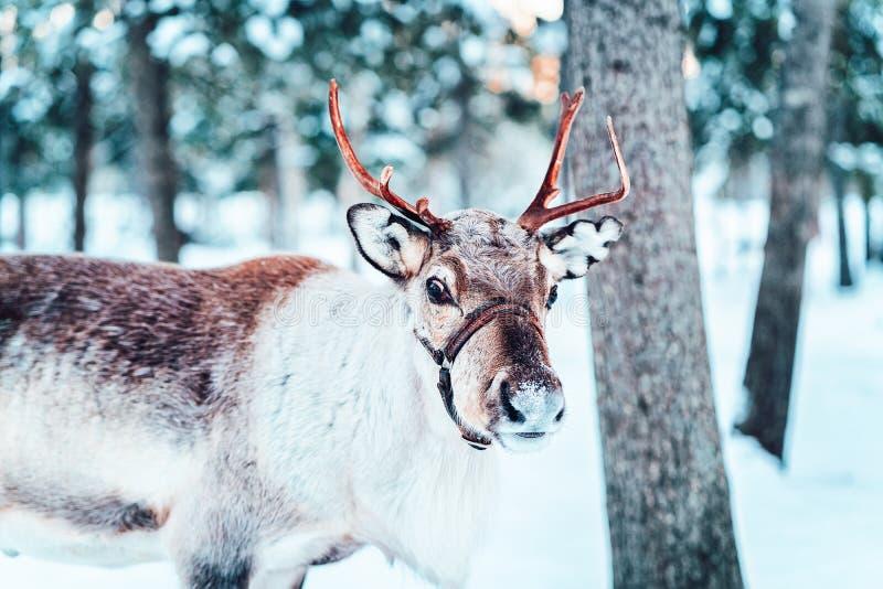 Bruin Rendier in Finland bij de winter van Lapland stock afbeeldingen