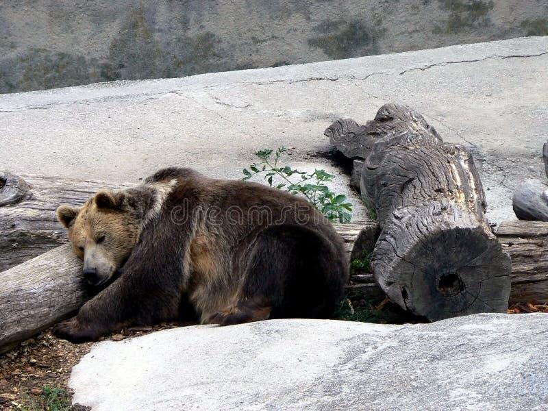 Bruin slapen draagt royalty-vrije stock afbeelding