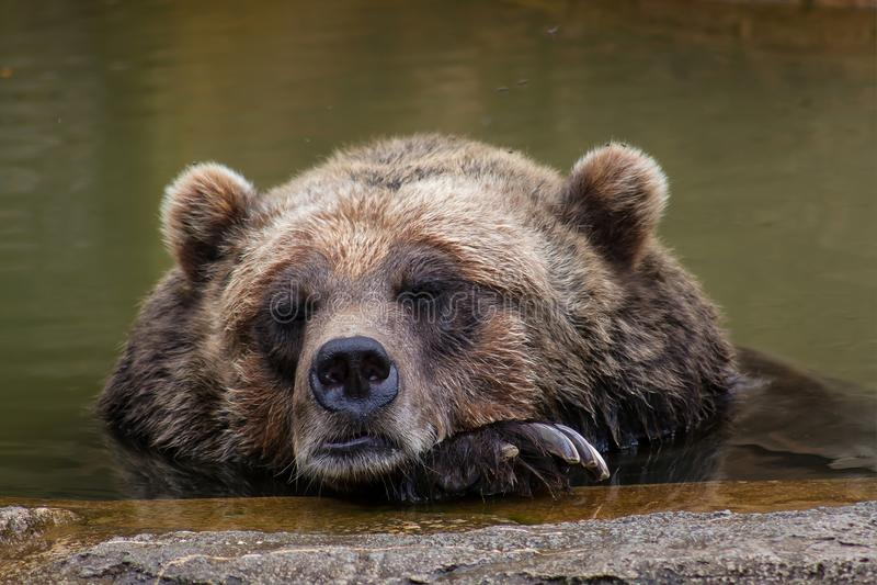 Bruin slapen draagt royalty-vrije stock foto's