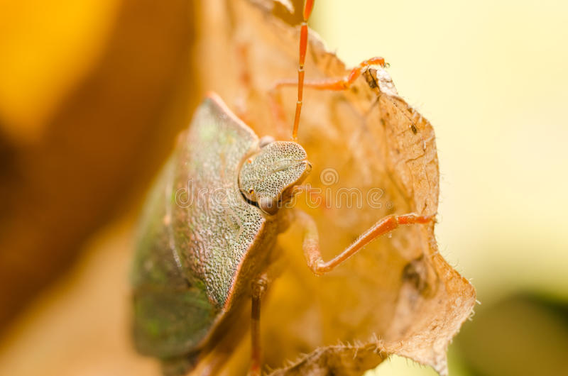 Bruin stink Insect of Schildinsect royalty-vrije stock fotografie