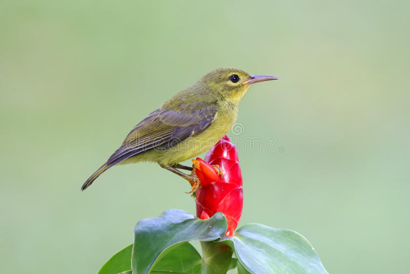 Bruin-Throated jongere van malacensis de Vrouwelijke Vogels van Sunbird Anthreptes stock foto's