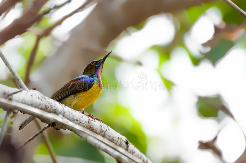 Bruin-Throated Sunbird (Anthreptes-malacensis) stock foto