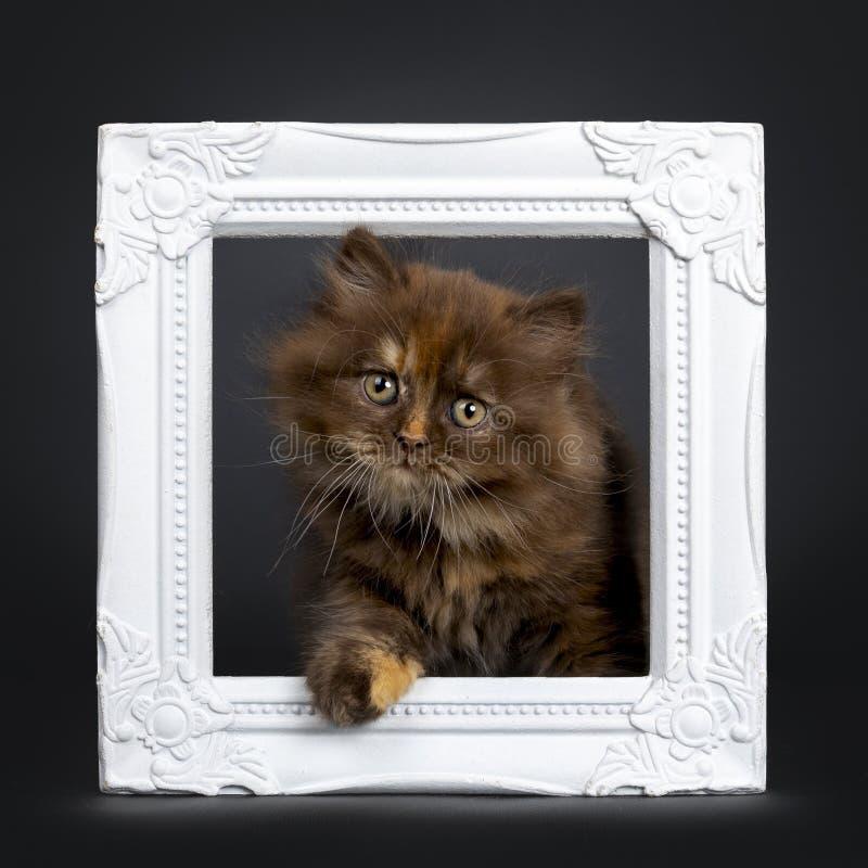 Bruin tortie Brits Longhair katje op zwarte stock foto's
