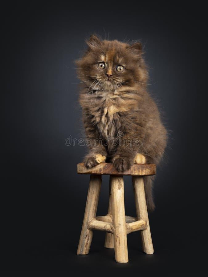 Bruin tortie Brits Longhair katje op zwarte stock afbeeldingen