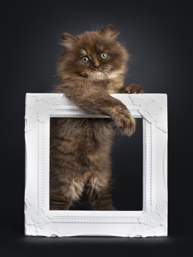 Bruin tortie Brits Longhair katje op zwarte stock fotografie