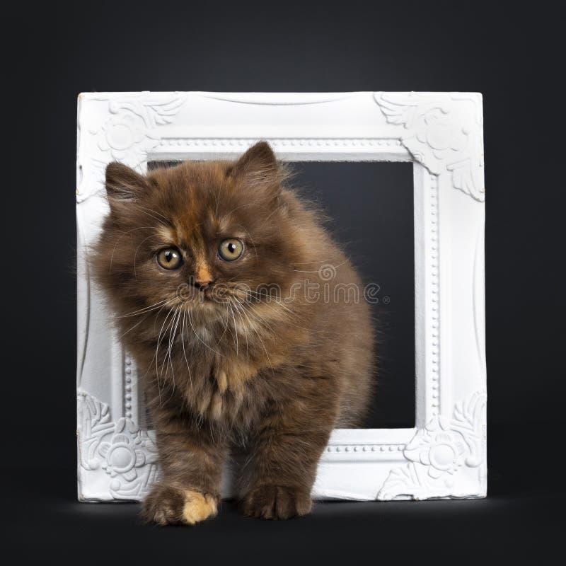 Bruin tortie Brits Longhair katje op zwarte royalty-vrije stock afbeeldingen
