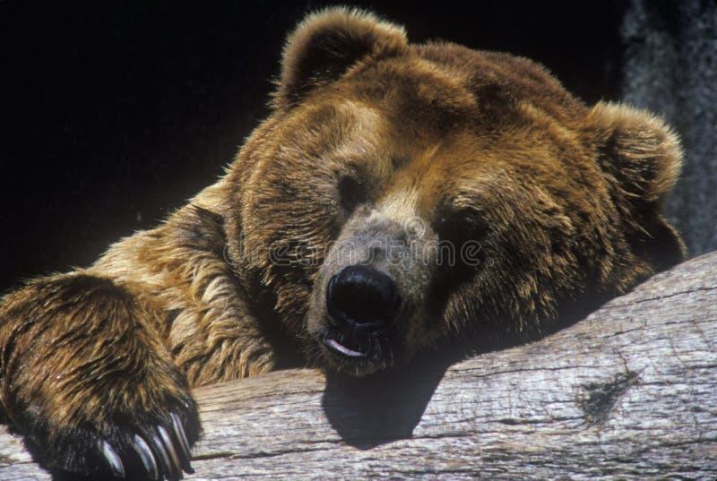 Bruin van Alaska draagt bij San Diego Zoo, CA , gyas van ursusarotos stock foto