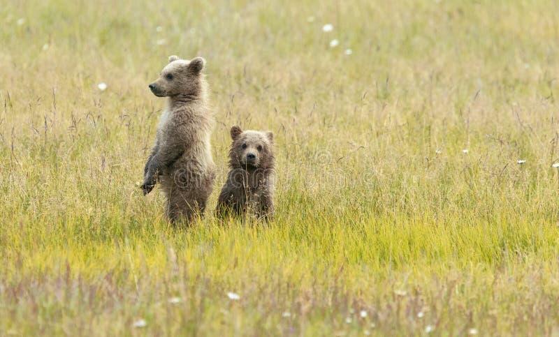 Bruin van Alaska draagt Welpentribune op een gebied stock foto