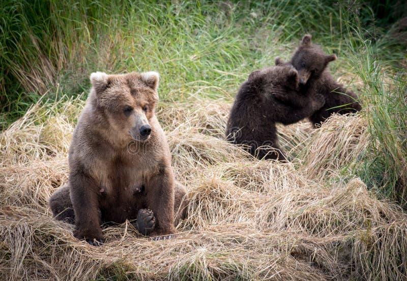 Bruin van Alaska draagt zeug met welpen royalty-vrije stock fotografie