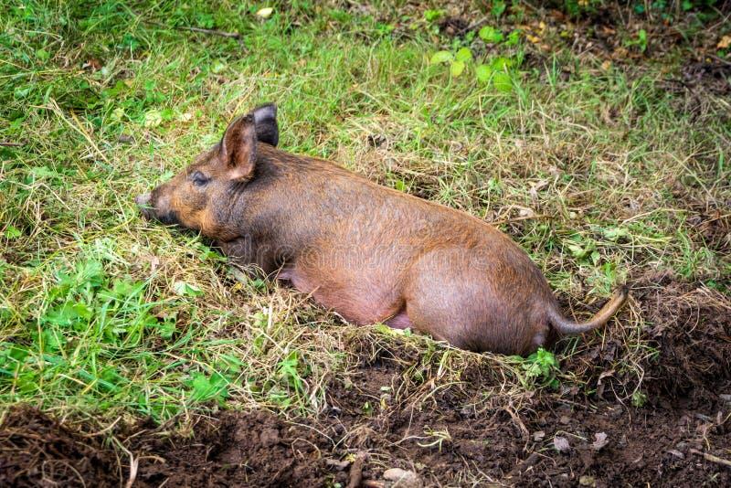 Bruin varken die op groen gras liggen De Tamworthvarkens zijn een erfenisras met oorsprong in Ierland royalty-vrije stock foto