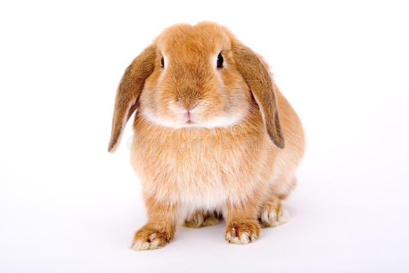 Bruin-wit konijntje royalty-vrije stock afbeelding