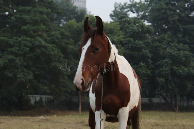 Bruin wit paard in de open die hals van het grasgebied aan kabel wordt gebonden stock foto