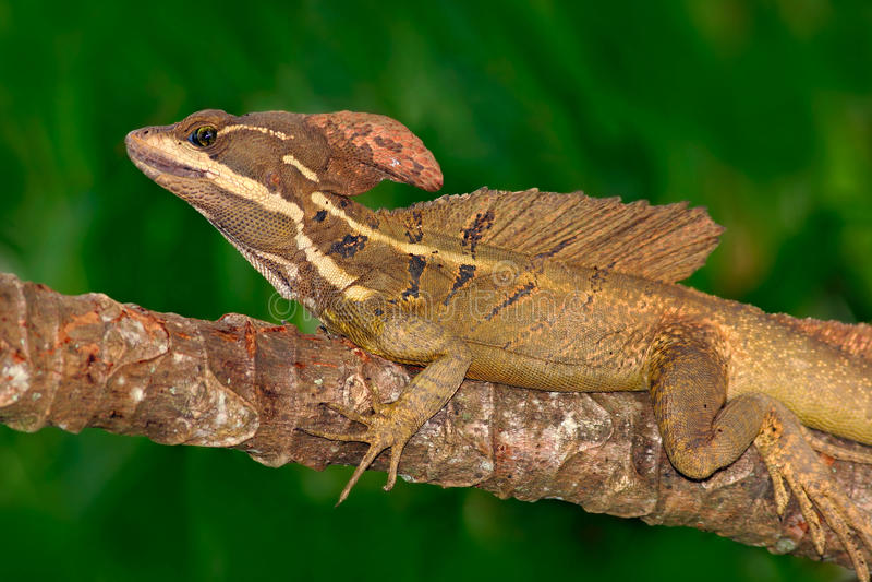 Bruine Basilisk, Basiliscus-vittatus, in de aardhabitat Mooi portret van zeldzame hagedis van Costa Rica Basilisk in gre royalty-vrije stock foto's