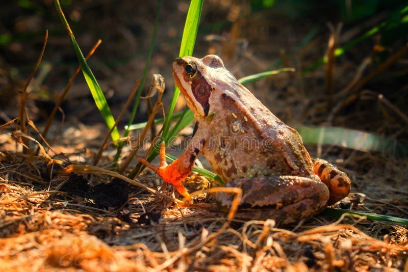 Bruine behendige kikker op bruine grond, achtermening stock afbeelding
