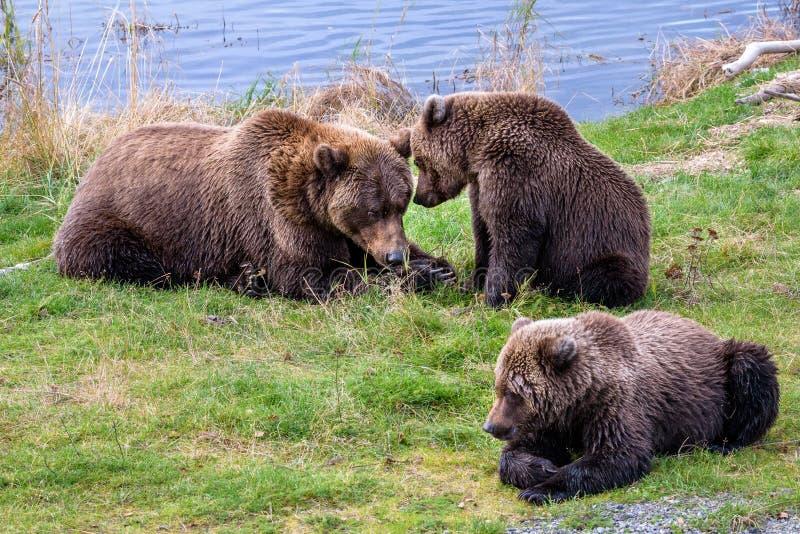 Bruine beren in de wildernis stock foto