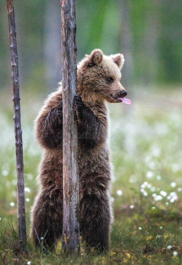 Bruine berenkub staat op zijn achterpoten bij een boom in het zomerbos en toont tong Wetenschappelijke benaming: Ursus Arctos Bro royalty-vrije stock fotografie