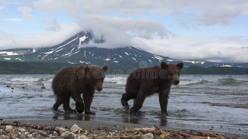 Bruine berenwelpen die vissen in het meer vangen royalty-vrije stock afbeelding