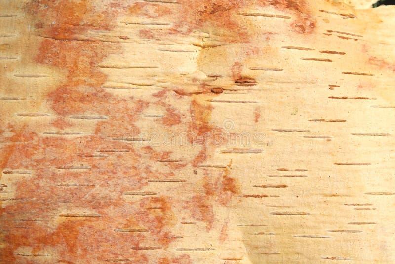 Bruine berkeschors van jonge berk met mooie textuur stock afbeeldingen