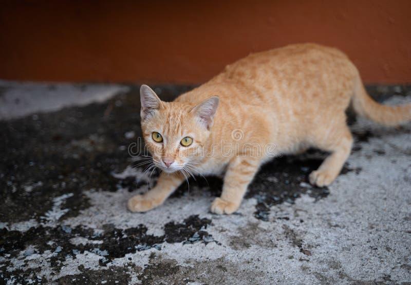 Bruine Bevlekte Cat Staring stock afbeelding
